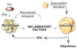 遊離脂肪酸による炎症性免疫細胞の活性化