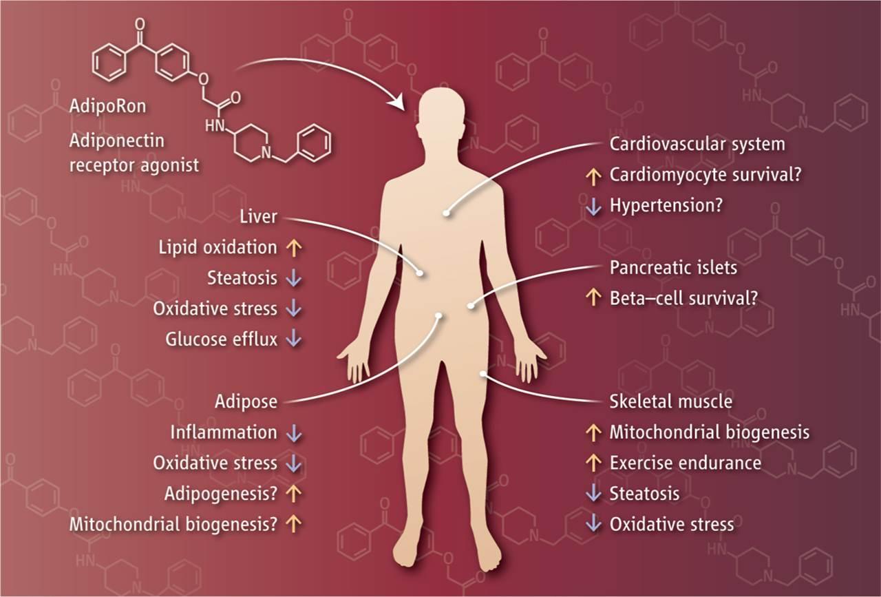 AdipoRonが示すアデイポネクチン類似作用