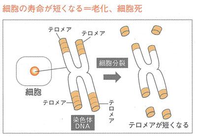 細胞が分裂できる回数には限界があることを示す図