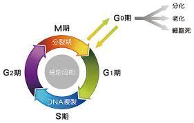 細胞周期の制御と老化の関係を示した図