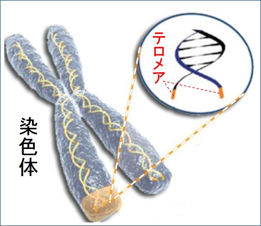 テロメアの染色体上の存在位置を示す図