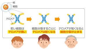 テロメアが短くなくなると 細胞が分裂できなくなることを示す図