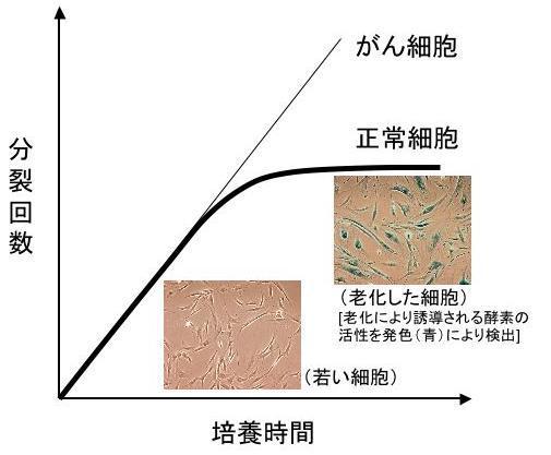 細胞は限られた回数しか分裂・増殖することができないことを示すグラフ
