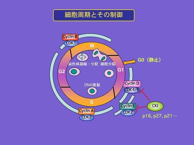 細胞周期の制御機構を示す図
