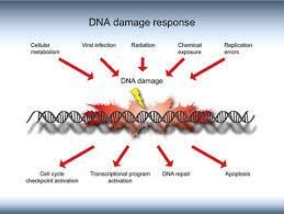 DNA 損傷応答の説明図