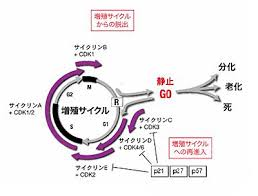 老化細胞の細胞周期が停止していることを示す図