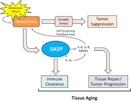 多量の老化細胞関連分泌因子が存在するようになることを示す図