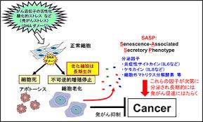 細胞老化による発癌予防を解説する図