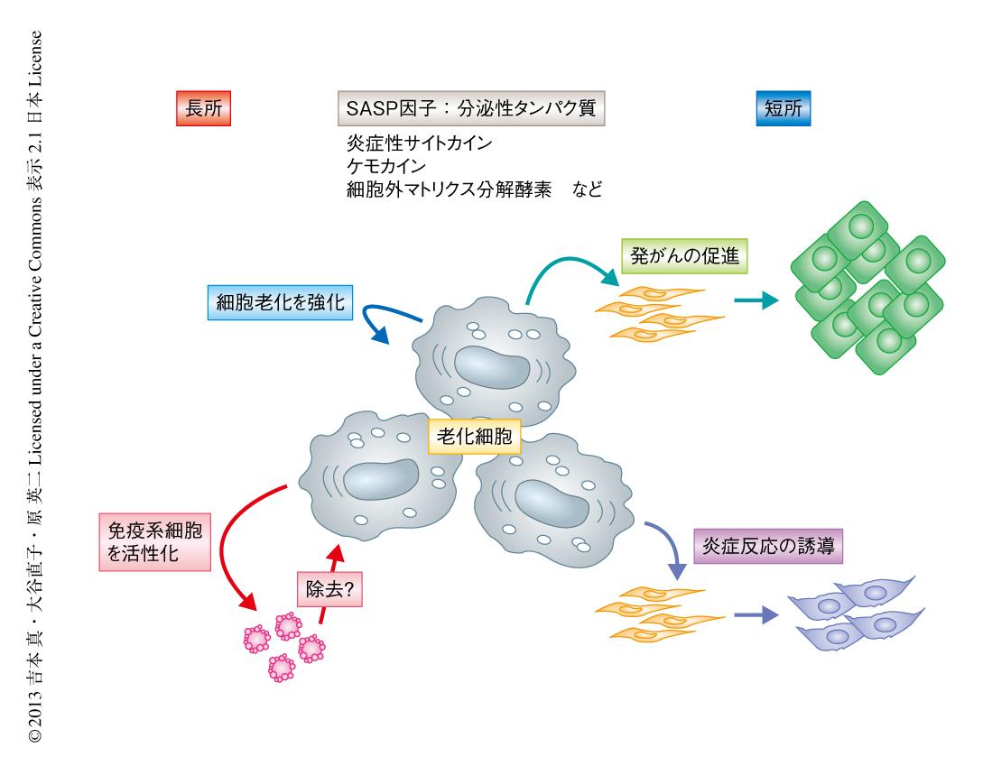 老化細胞関連分泌因子は 周囲に炎症を起こすことを示す図