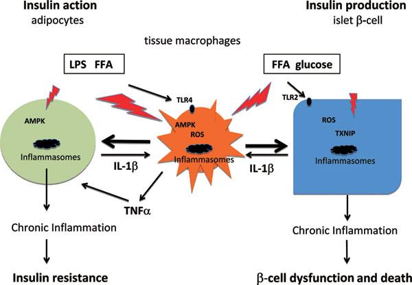 IL-1βによるインスリン抵抗性の誘導 膵β細胞の細胞死誘導メカニズムの解説図