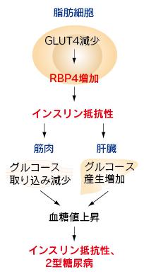 RBP4によるインスリン抵抗性誘導を示した図