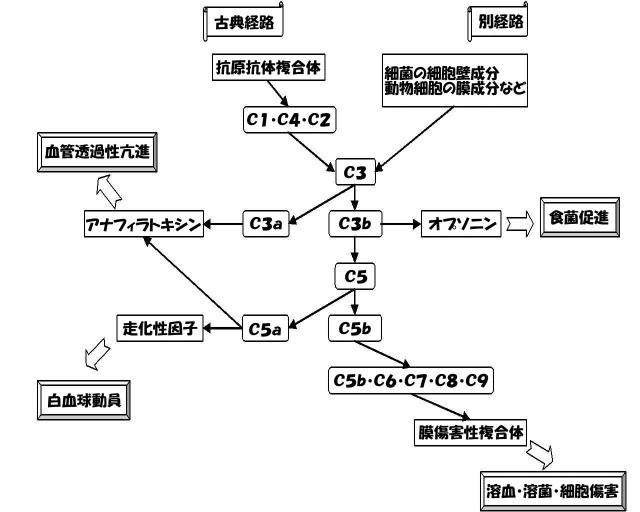 補体の活性化経路をまとめた図