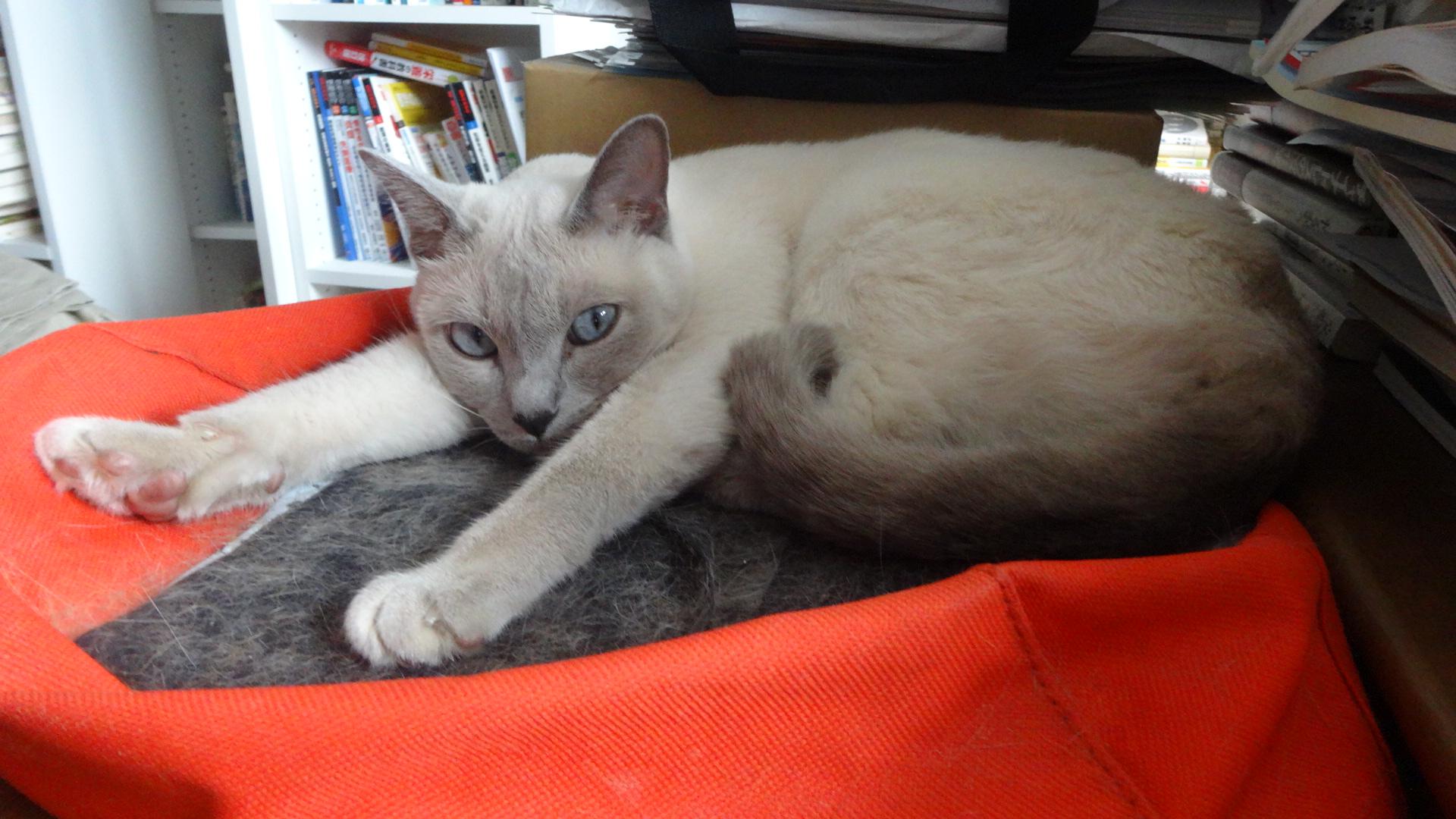 ローズのお気に入りの場所に寝転んでこちらを見る楓