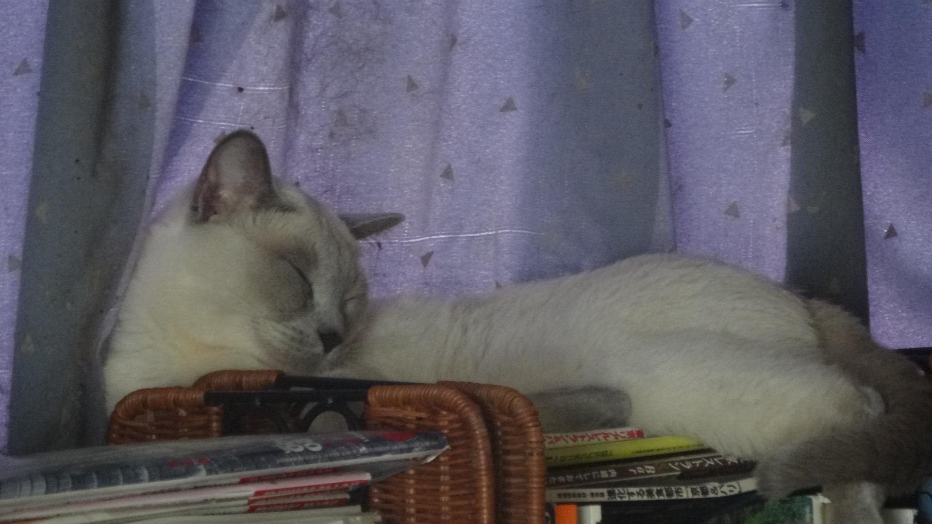 オープンラックの上で寝る楓