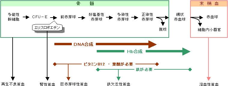 赤血球が作られる分化過程を示した図