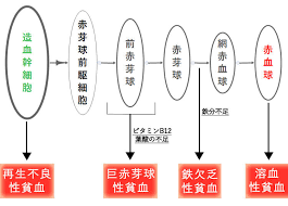 赤血球の分化の各段階で生ずる貧血をまとめた図