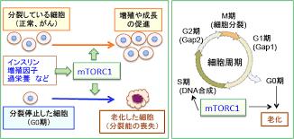 mTOR1の抗老化作用を示す図