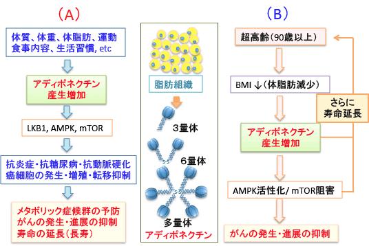 アデイポネクチンのAMPK活性化によるmTORC1抑制作用を示す図