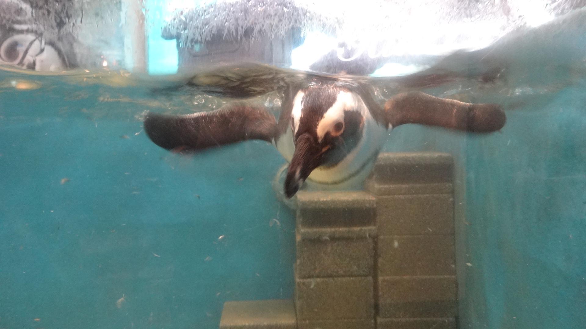 水中で泳ぐペンギン