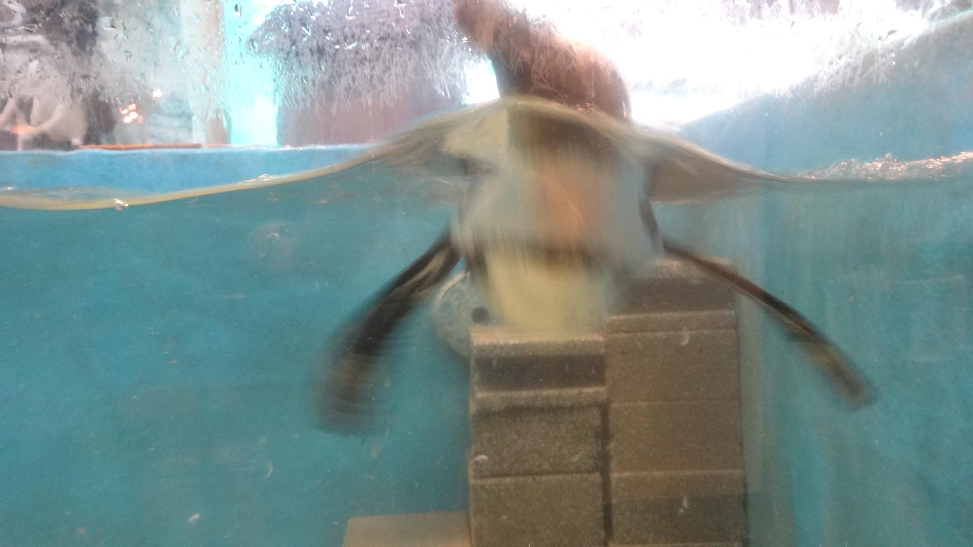 水面から頭を出すペンギン