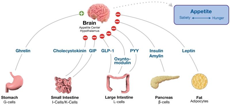 各種消化管ホルモンの脳での食欲制御に及ぼす影響をまとめた図