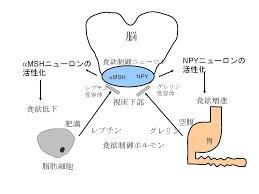消化管ホルモンによる報酬系調節系の制御を示した図