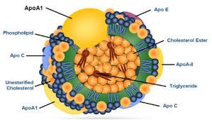 HDLに含まれるApo A1の図