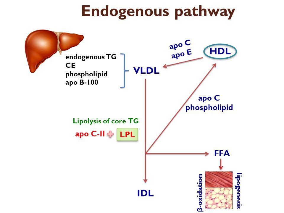 Apo C Apo EによるLPLの活性化と LPLによるVLDLの分解を示した図
