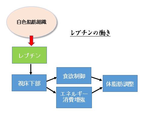 レプチンの食欲への作用を示す図