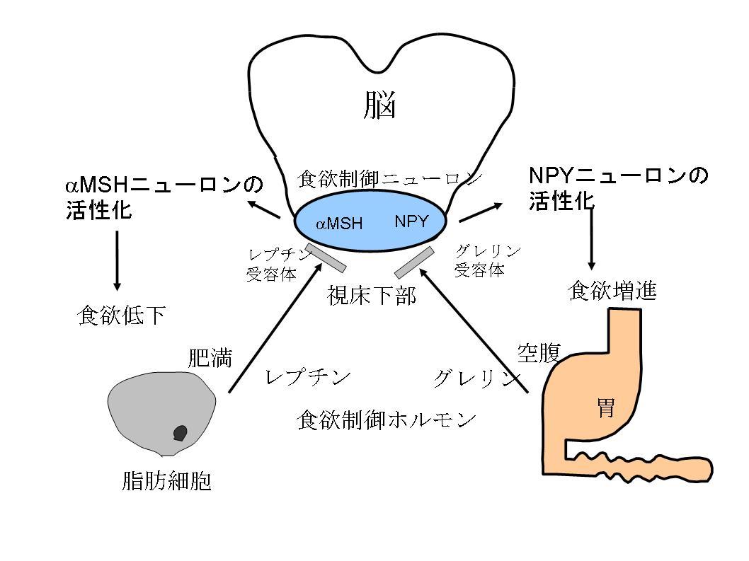 食欲亢進ニューロンの詳しい説明図