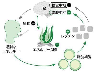 レプチンによる食欲抑制の生体における意義を説明した図