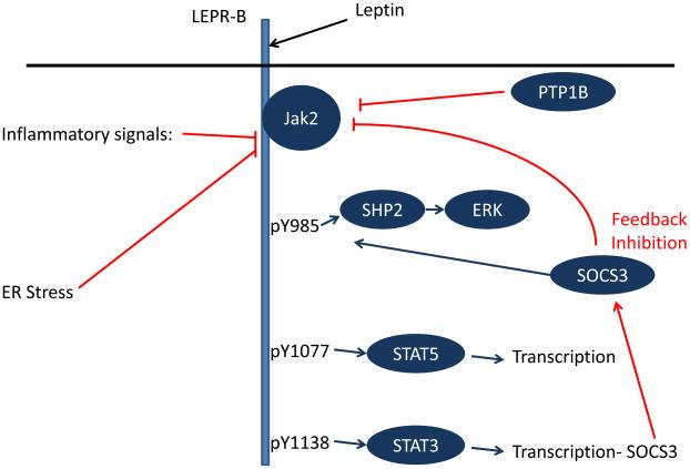 レプチンによる細胞内情伝達体の不具合の可能性を示す図