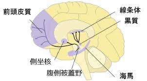 腹側被蓋野・側坐核の所在地を示す図