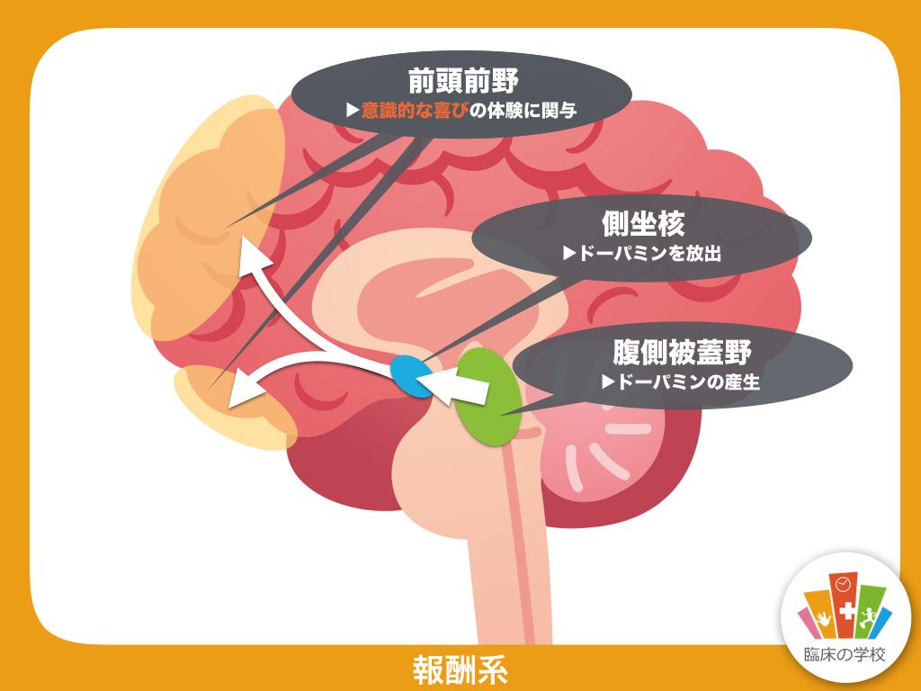 中脳腹側被蓋野で ドパミンが合成されて側坐核へ投射されることを示す図