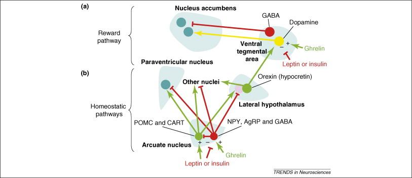食欲制御ニューロンの放出物によるドパミン制御の詳細を示す図