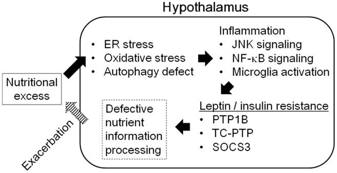 小胞体ストレスのレプチン抵抗性 インスリン抵抗性形成への関与を示す図
