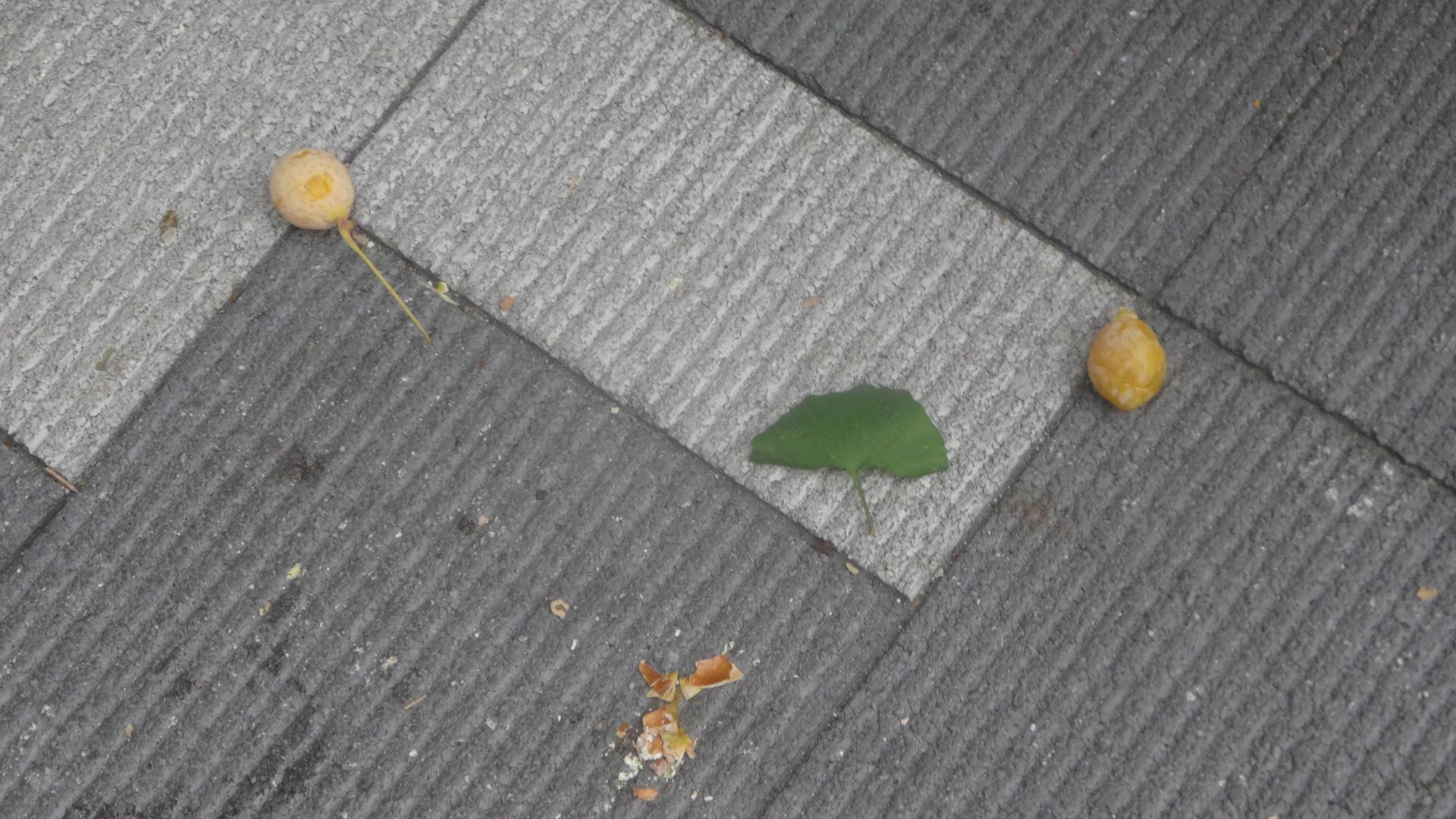 街路樹の下の路上に落ちていた銀杏
