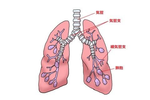 気管支と細気管支の場所の違いを示す図