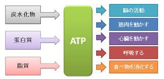 さまざまな栄養素から変換されたATPが生体内の活動に使用されるさまを説明した図