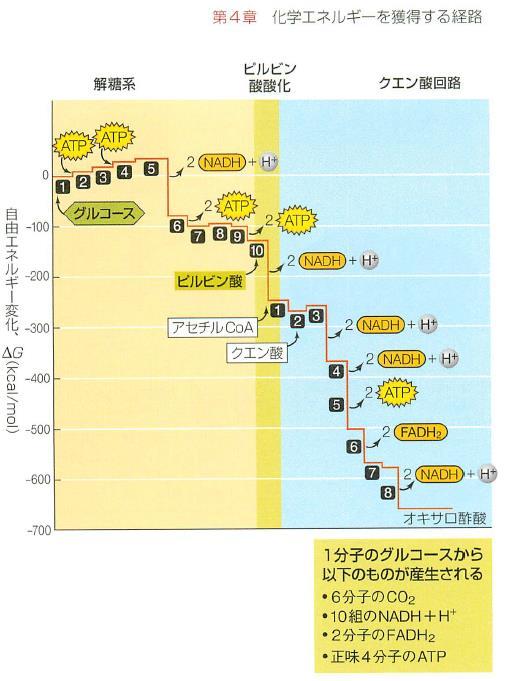 解糖系 TCA回路で栄養素から寝るぎーが放出されていく過程の図