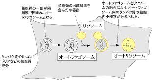 オートファジーの概要を示す図