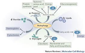 脂肪組織からの脂肪酸の分解にオートファジーが関わることを示す図