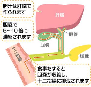胆汁の合成と分泌を示す図