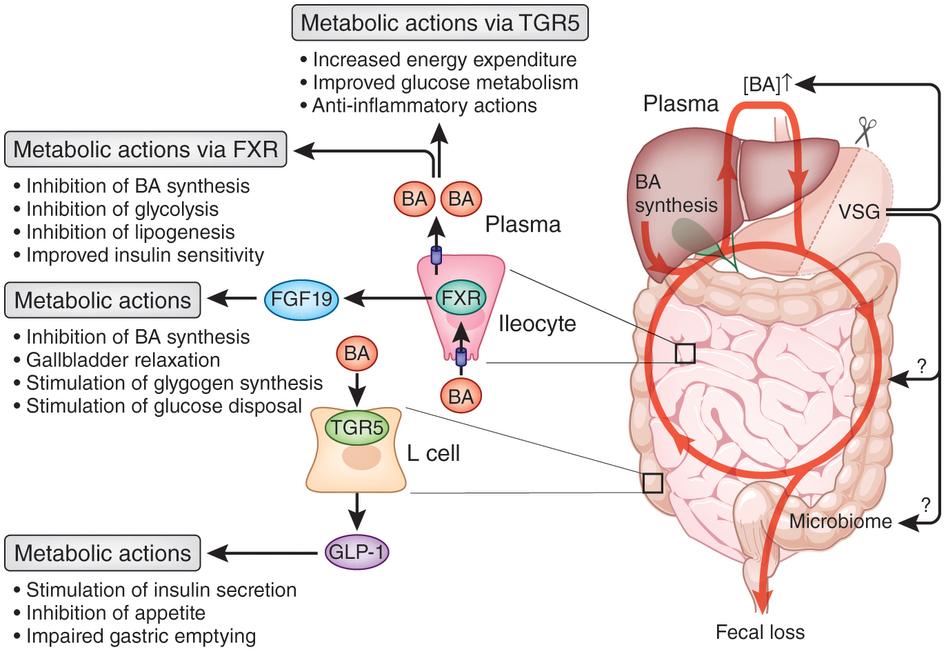 胆汁酸のTGR5 FXRを介して発現される作用をまとめた図