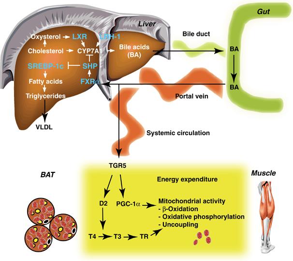 胆汁酸のTGR5を介して発現される作用をまとめた図