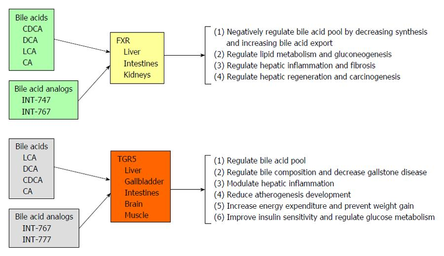 胆汁酸のTGR5 FXRを介して発現される作用をまとめた図2