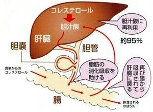 胆汁酸の腸肝循環を示す図
