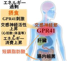 短鎖脂肪酸のGPR41を介した作用をまとめた図