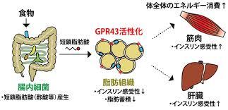 短鎖脂肪酸のGPR43を介した作用をまとめた図