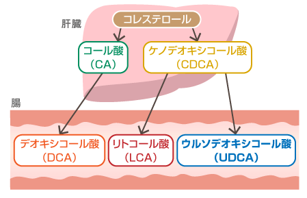 1次胆汁酸の種類
